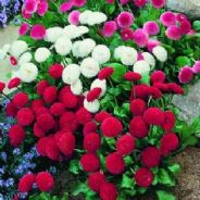 Bellis Medicis Mix 40 seeds